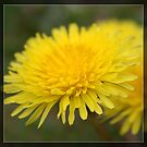 Wild yellow dandelion flower. Floral nature photography. by naturematters