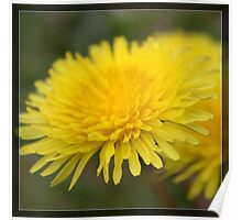 Wild yellow dandelion flower. Floral nature photography. Poster