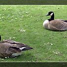 Two wild ducks on green grass.  by naturematters