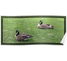 Two wild ducks on green grass.  Poster