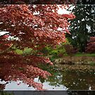 Red Japanese maple tree by the water pond. by naturematters