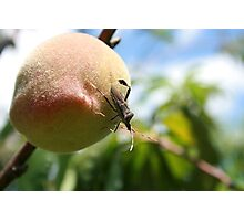 Insect on a Peach Photographic Print