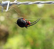 Spider on a Web by rhamm