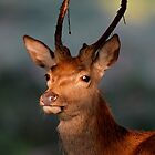 Young Red Deer Stag by Gary Richardson