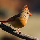 female cardinal 4 2012 by canonman7D