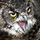 Great Horned Owl by John Dalkin