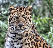 Amur leopard by Thea 65