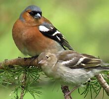 Chaffinch twosome by Jaysgifts