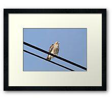 Red-tailed Hawk @ Jacobson Park Lexington KY Framed Print