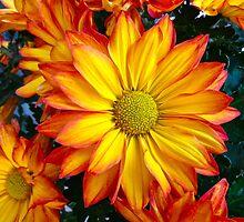 """Chrysanthemums in Bloom"" by AlexandraZloto"