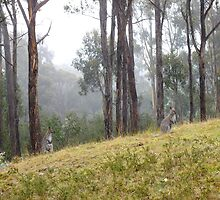 wallabies in the mist by Alenka Co
