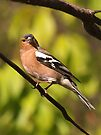 Posing for my family portrait........Chaffinch ! by Roy  Massicks