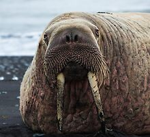 Walrus on the beach by charlottegoss