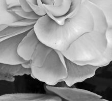 White Begonia Sticker