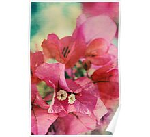 Bougainvillea at Sunset Poster