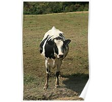 Cow in a Pasture Poster