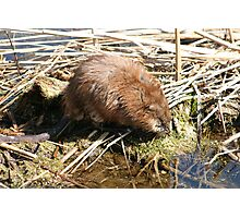 Brown Muskrat in a Marsh Photographic Print
