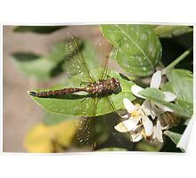 Dragonfly on Orange Tree Poster