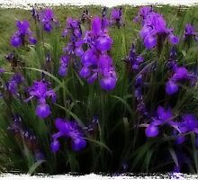 Spring Irises by Nancy Aikins