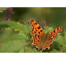 """ Beneath Your Wings,  The Comma Butterfly "" Photographic Print"