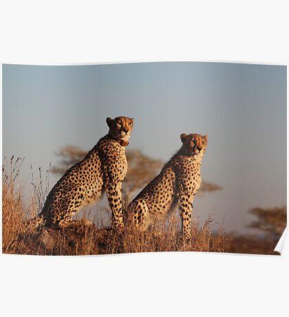 Cheetahs at first light Poster