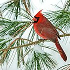 male cardinal 17 2012 by canonman7D
