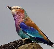 Lilac-breasted roller  by Thea 65