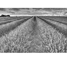 Black And White Lavender Photographic Print