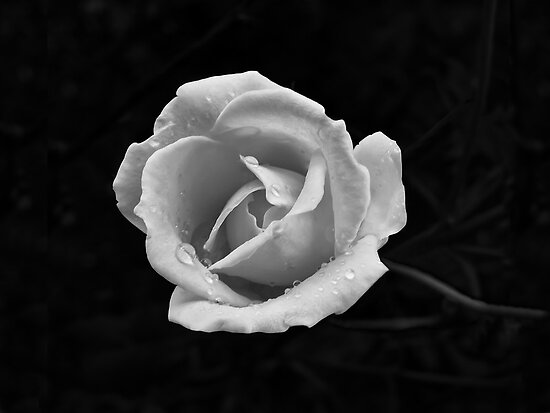 wet rose by canonman7D