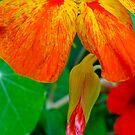 Firey Nasturtium by Orla Cahill Photography
