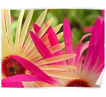 Mesembryanthemums Intertwined Poster