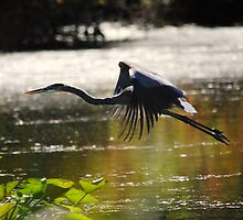 Blue Heron In Flight: Sunshine And Shadows by Thomas Mckibben