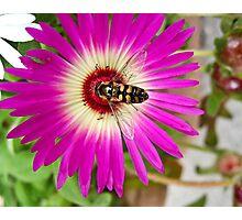 Honey Bee On A Mesembryanthemum Photographic Print