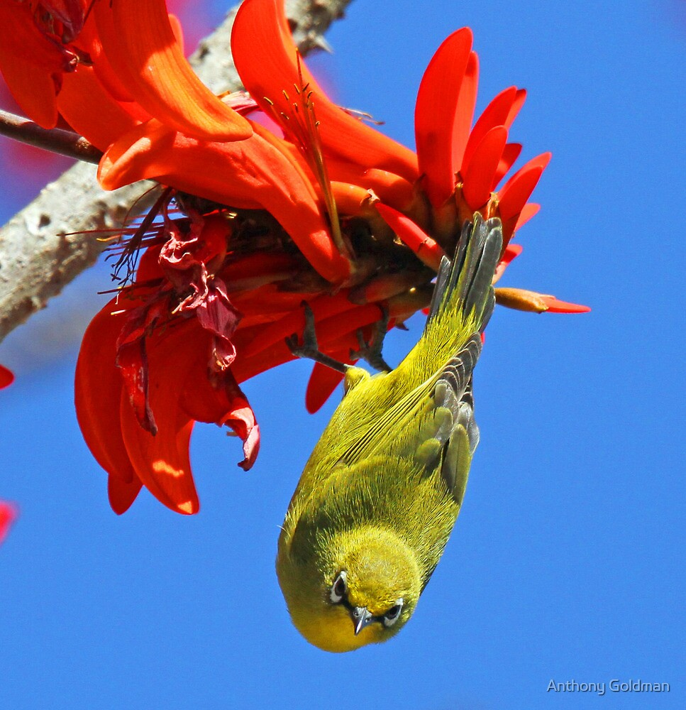 An African Yellow White Eye by jozi1