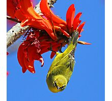 An African Yellow White Eye Photographic Print