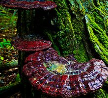 Large Red Tree Fungus by Nazareth