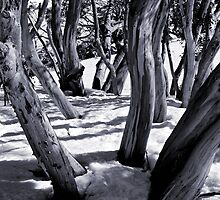 Snow gums, Snowy Mountains,  Australia by DBigwood