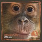 Orangutan Eyes - Windows to their Soul by The Orangutan Project