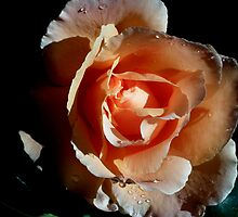 Apricot Rose by lynn carter
