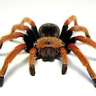 Mexican Beauty Tarantula Spider  by Kawka