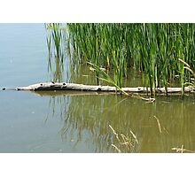 Reeds and Logs in a Marsh Photographic Print