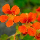 Dayglo Orange Nasturtiums by Orla Cahill Photography