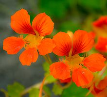 Dayglo Orange Nasturtiums by Orla Cahill Photography