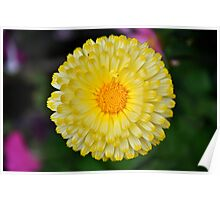 Calendula Perfection in Yellow and White Poster