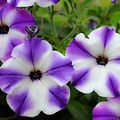 Decorative Petunia in Purple and White by Orla Cahill Photography