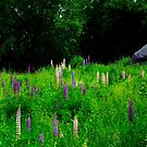 Glacial Boulder in a Lupine Field by Wayne King