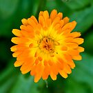 Calendula Perfection in Orange and Yellow by Orla Cahill Photography