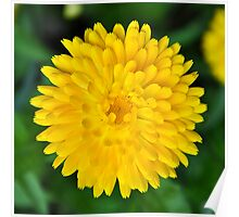 Calendula Perfection in Yellow Poster