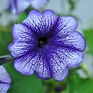 Purple Veined Petunia by Orla Cahill Photography