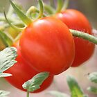 Fresh Garden Tomatoes by hummingbirds